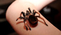 Big hairy spider Royalty Free Stock Photo