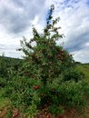 Big Healthy Apple Tree late Summer in Connecticut USA Royalty Free Stock Photo