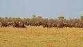 A big herd of buffalo Royalty Free Stock Photo