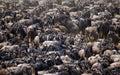 Big herd of wildebeest in the savannah. Great Migration. Kenya. Tanzania. Masai Mara National Park. Royalty Free Stock Photo