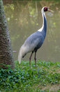 Big heron staying near lake tropical Stock Images