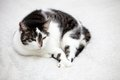 Big home cat is lying on a bed symbol of comfort Royalty Free Stock Photography