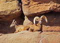 Big Horn Sheep Stock Images