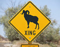 Big Horn Sheep Crossing Royalty Free Stock Photography
