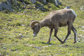 Big horn sheep portrait ovis canadensis on the mountain background Stock Photography