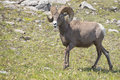 Big horn sheep portrait ovis canadensis on the mountain background Stock Photo