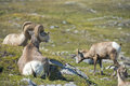 Big horn sheep portrait ovis canadensis on the mountain background Royalty Free Stock Image