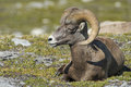 Big horn sheep portrait ovis canadensis on the mountain background Royalty Free Stock Photos
