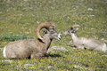 Big horn sheep portrait ovis canadensis on the mountain background Stock Images