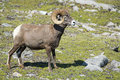 Big horn sheep portrait ovis canadensis on the mountain background Stock Image