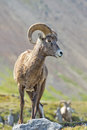 Big Horn Sheep portrait on rocky mountains Canada Royalty Free Stock Photo
