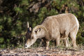 Big horn sheep portrait of a young in zion national park in southern utah Stock Photos