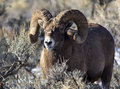 Big Horn Sheep Ram Royalty Free Stock Photo