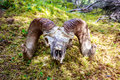 Big Horn Sheep skull Royalty Free Stock Photo