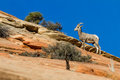 Big horn sheep young climbing colorful sandstone cliffs in zion np Stock Photos