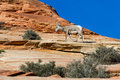Big horn sheep young climbing colorful sandstone cliffs in zion np Royalty Free Stock Images