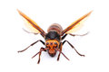 Big hornet closeup of a on white background Royalty Free Stock Photo