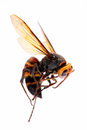 Big hornet dead isolated on white background Stock Image