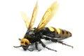 Big hornet on white background Stock Photos