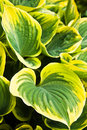 Big Hosta or Funkia leaves Royalty Free Stock Image