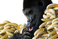 Big hungry gorilla eating healthy snack bananas breakfast isolated white background Royalty Free Stock Photography