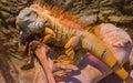 Big iguana basking on a branch Royalty Free Stock Photo