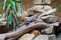 Big iguanas Royalty Free Stock Photography