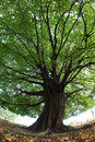 Big imposing tree with impressive green treetop large trunk and leaves crown Stock Photo