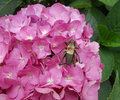 Big insect similar to a cricket leaned over the hydrangea flower purple flowers Stock Photography