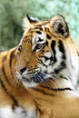 Big irange Bengal tiger in forest Stock Photo