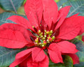 Big Island Poinsettia Stock Photography