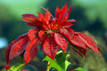 Big Island Poinsettia Glistens Royalty Free Stock Images