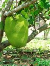 Big Jackfruit Tree Stock Image
