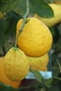 Big juicy and wrinkled lemon hanging on the plant in summer Royalty Free Stock Image