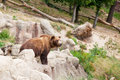 Big kamchatka brown bear among stones in the wood Stock Photos