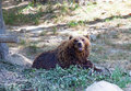 Big kamchatka brown bear among stones in the wood Royalty Free Stock Photo