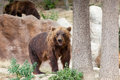 Big kamchatka brown bear among stones in the wood Stock Photography