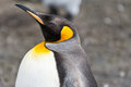 Big king penguin aptenodytes patagonicus close up in the falkland islands Stock Photo
