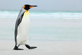 Big King penguin going to blue water, Atlantic ocean in Falkland Island, coast sea bird in the nature habitat Royalty Free Stock Photo