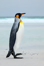 Big King penguin jumps out of the blue water while swimming through the ocean in Falkland Island. Wildlife scene from nature. Funn Royalty Free Stock Photo