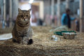 Big lazy domestic barn cat Royalty Free Stock Photo