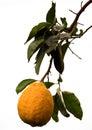 Big lemon fruit Royalty Free Stock Photo