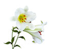 Big lily giant flower isolated on white background Stock Photos