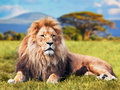 Big lion lying on savannah grass landscape with characteristic trees the plain and hills in the background Royalty Free Stock Photo