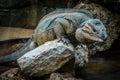 Big lizard on a rock large sitting gran canaria spain Royalty Free Stock Image