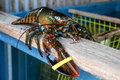 Big lobster live over pound Stock Photography