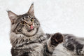 Big maine coon cat black tabby with red tongue posing on white background Royalty Free Stock Photos