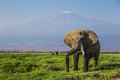 Big male African elephant with the mount Kilimanjaro in the background in the Amboseli national park (Kenya) Royalty Free Stock Photo