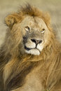 Big male african lion in the maasai mara in kenya panthera leo s national reserve Stock Photography