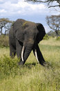 Big male elephant Stock Photography